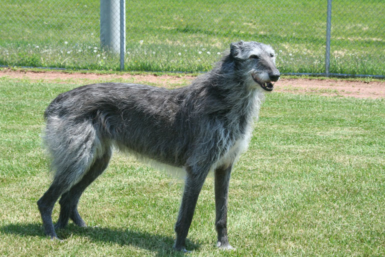 The 2011 Scottish Deerhound Scottish Deerhound For Sale California